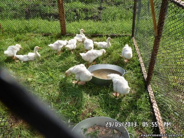 Загон для гусей и уток